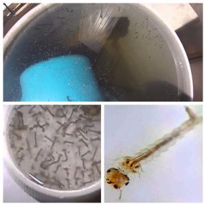 las larvas del mosquito tigre