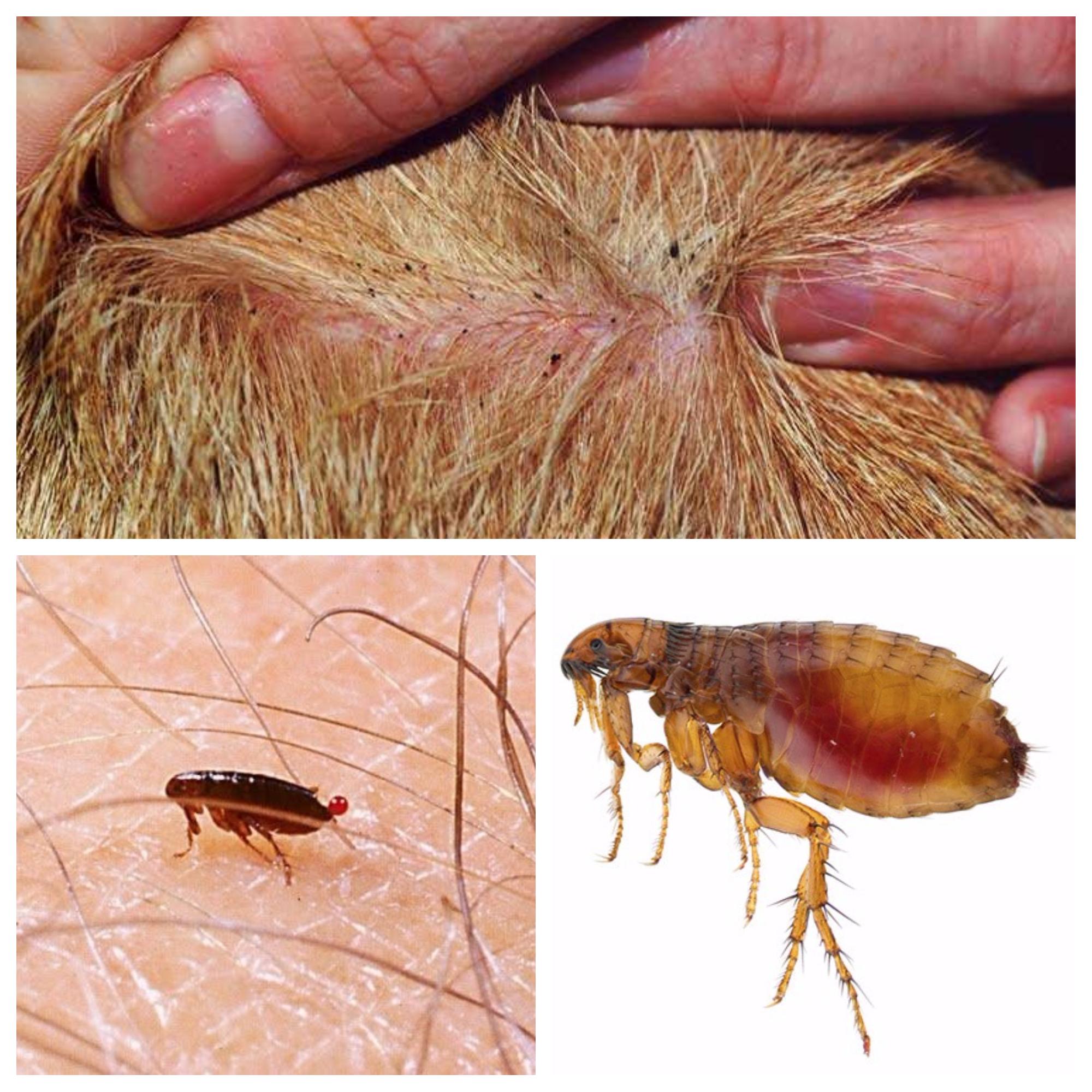 repelente casero de pulgas para personas