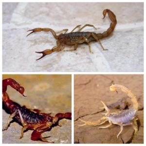 fotografías de escorpiones